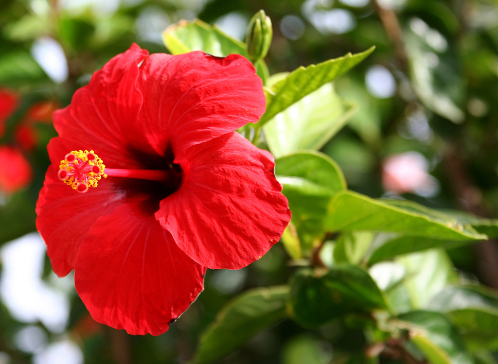 National flower of malaysia