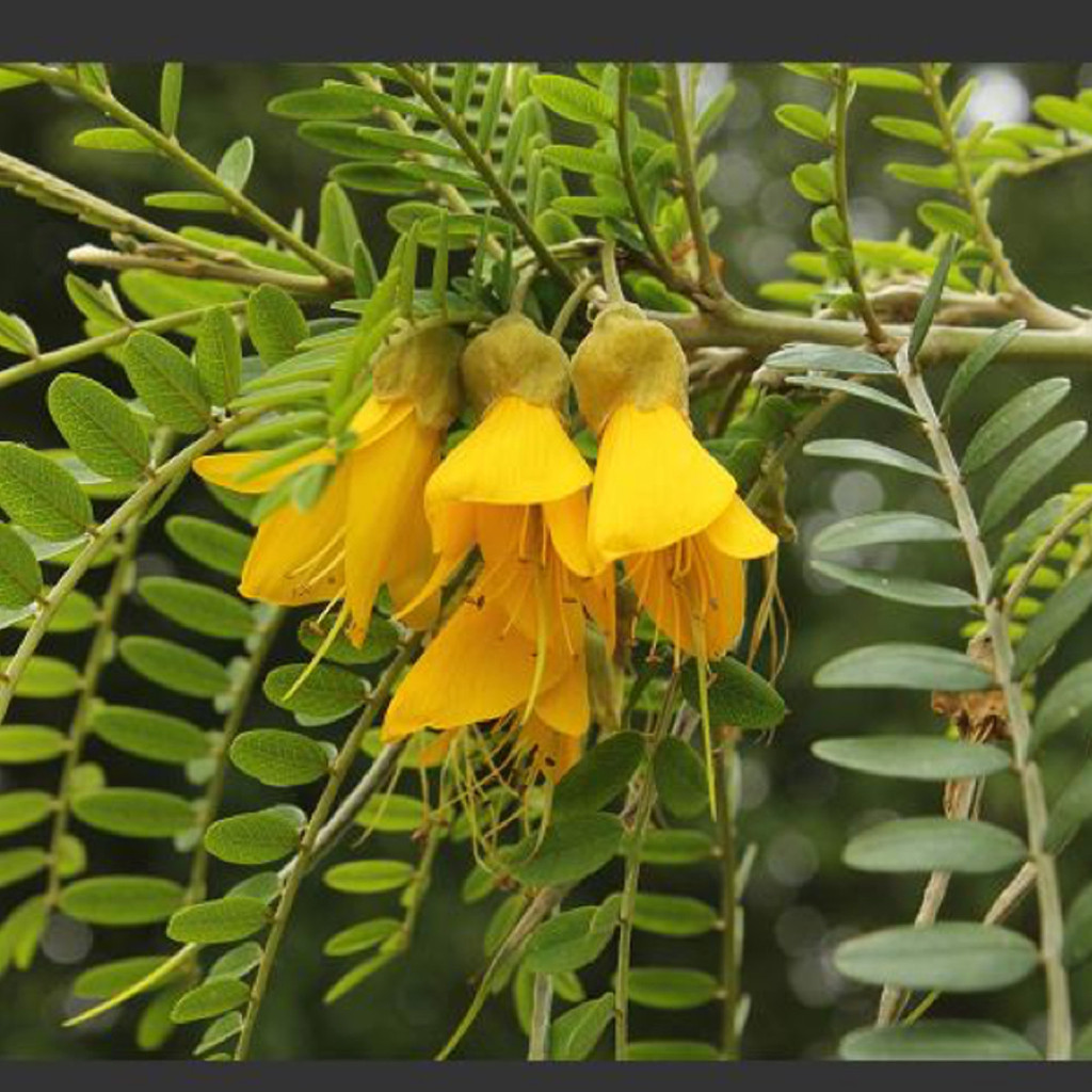National flower of new zealand kowhai