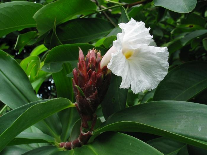 National flower of nigeria