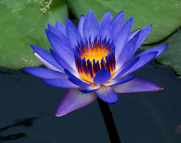 National flower of srilanka Blue water lily
