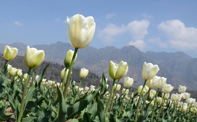 National flower of turkey tulip
