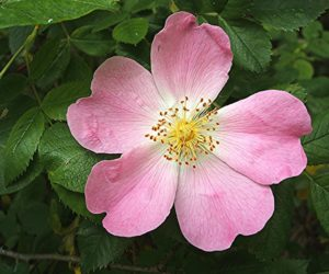 dog rose the national flower of Romania