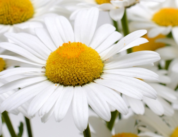 marguerite daisy national flower of denmark