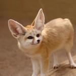 national animal of algeria