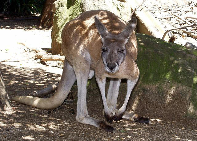 national animal of australia kangaroo