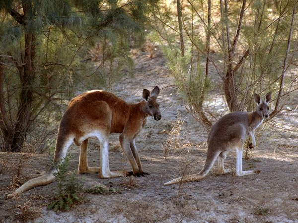 national animal of australia