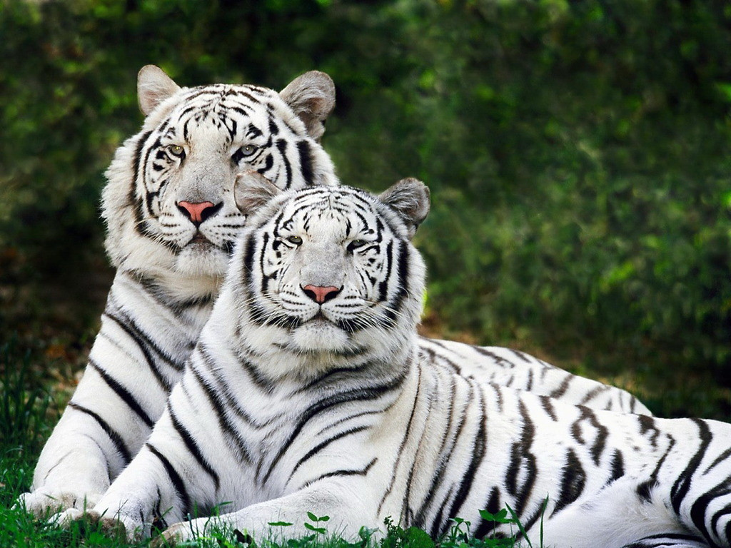 national animal of bangladesh white bengal tiger
