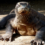 national animal of indonesia komodo dragon