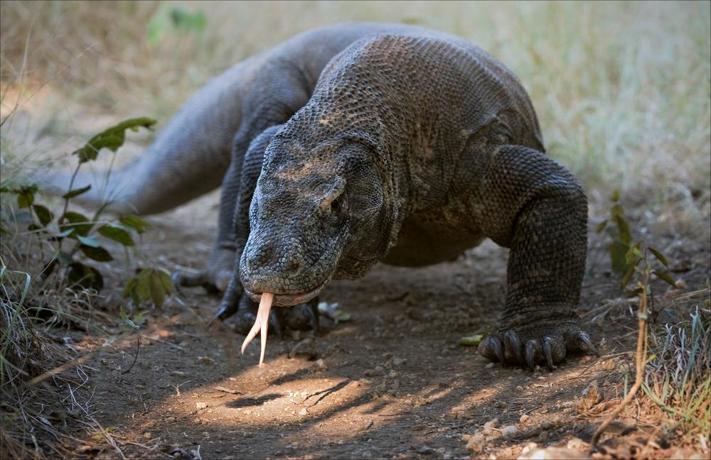 national animal of indonesia