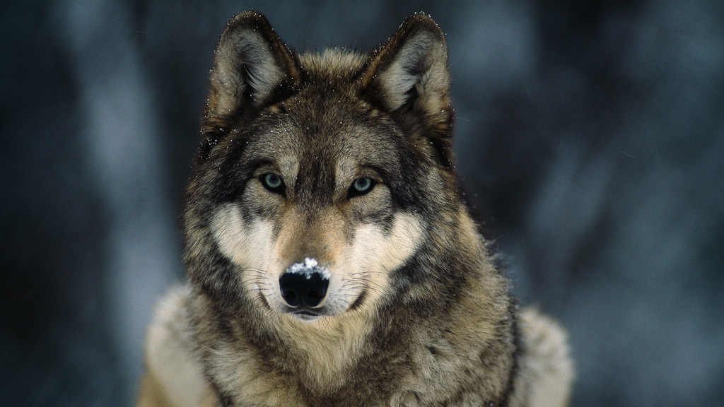 national animal of italy the italian wolf