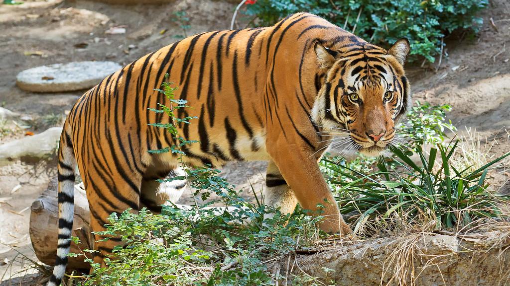 national animal of malaysia