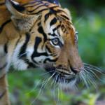 national animal of malaysia malayan tiger