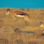 national animal of south africa springbok