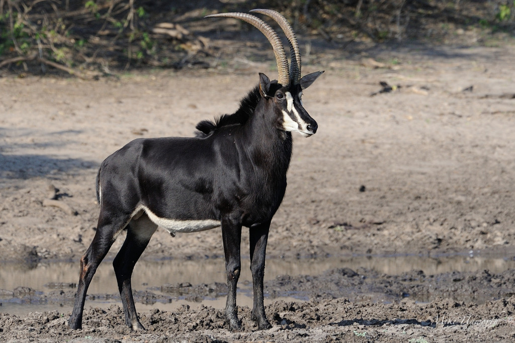 national animal of zimbabwe