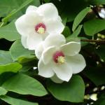 national flower of north korea Magnolia sieboldii