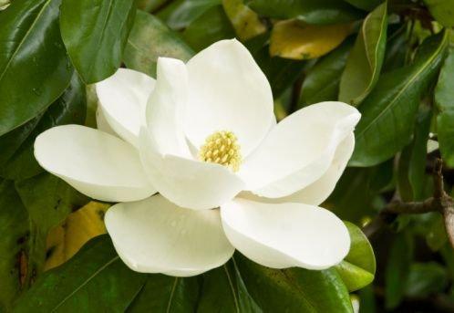 national flower of north korea