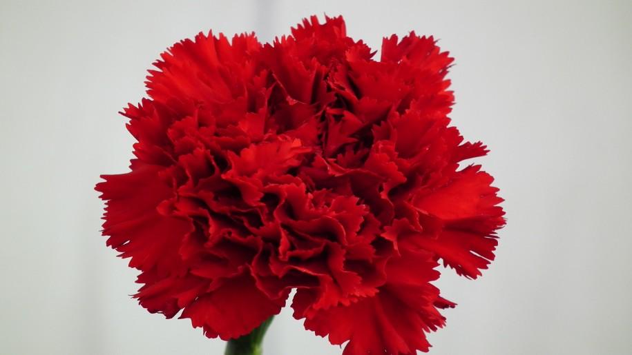 national flower of spain red carnation