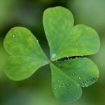 The national flower of ireland shamrock