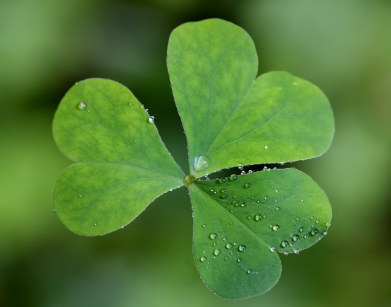 The national flower of ireland shamrock