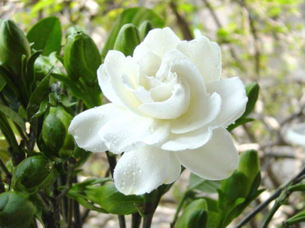 National flower of syria