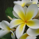 National flower of syria jasmine