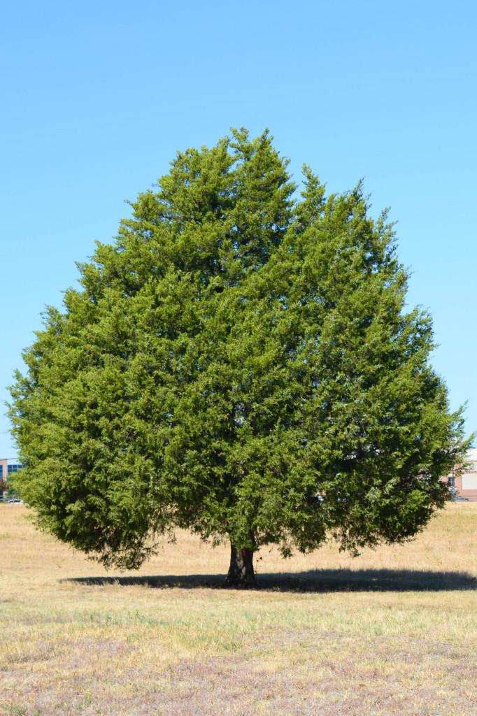 cedar tree national flower of lebanon