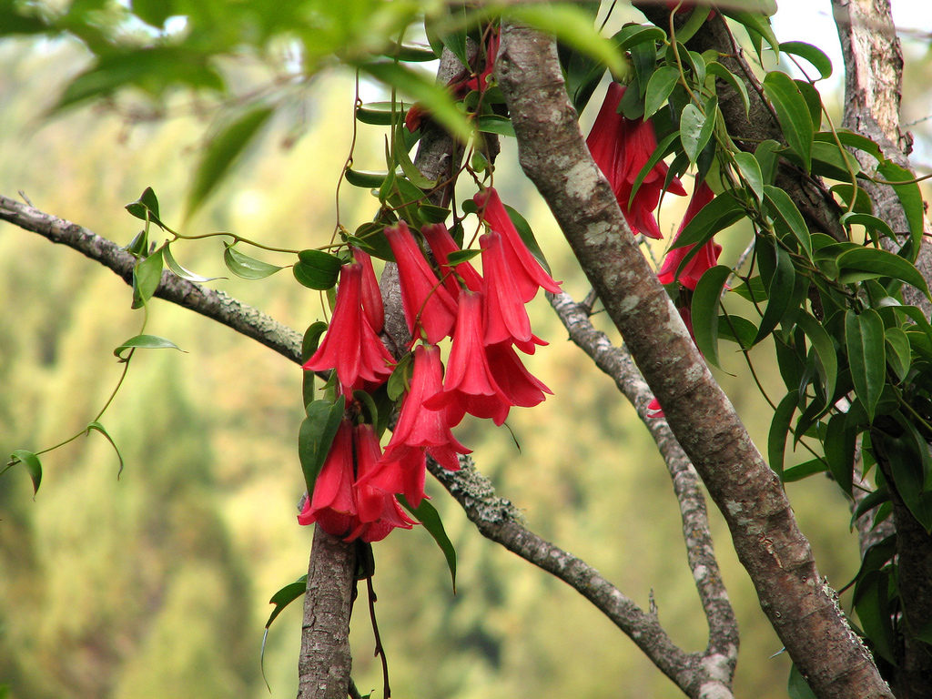 Lapageria Rosea - The National Flower of Chile