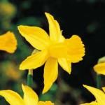 national flower of kuwait al arfaj