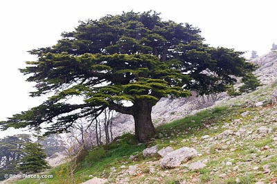 national flower of lebanon cedar tree