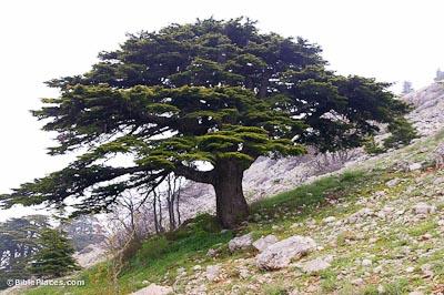 national flower of lebanon cedar tree