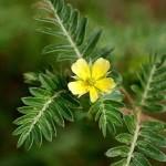 national flower of united arab emirates tribulus