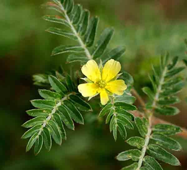 national flower of united arab emirates tribulus