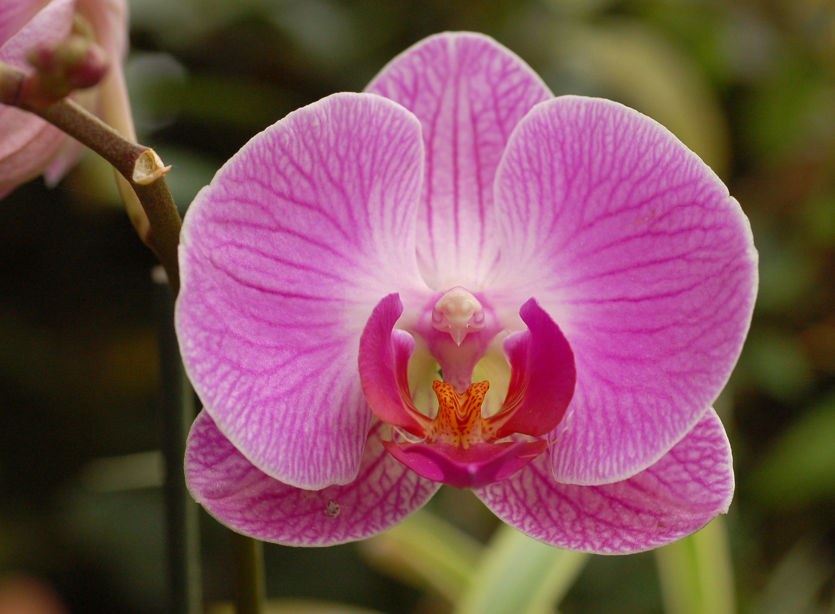 orchid the national flower of venezuela, Beautiful flower