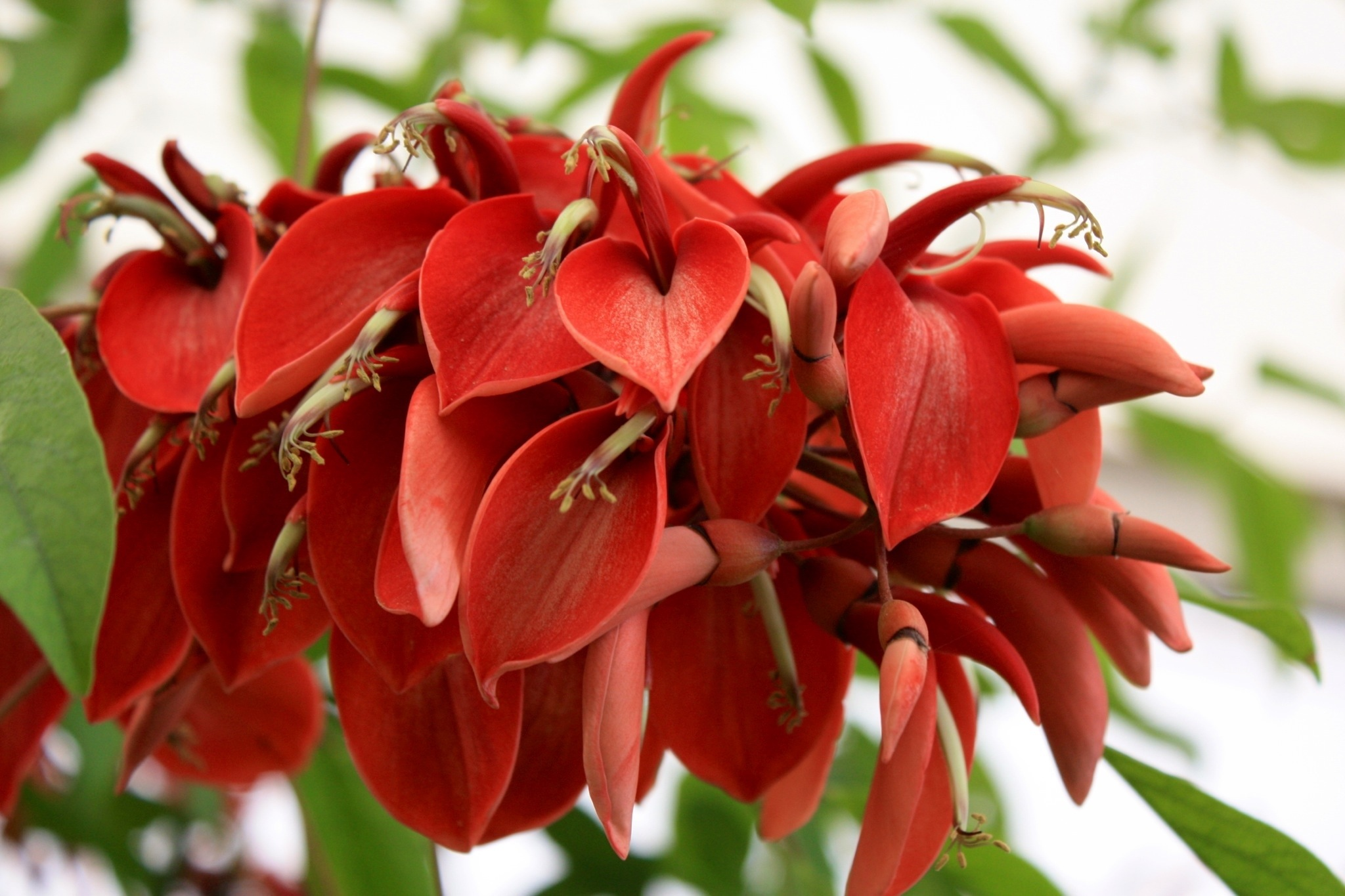 the national flower of argentina Erythrina Cristina Galli