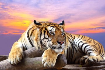 Image of: Chollima Tiger The National Animal Of India Helo National Tiger The National Animal Of South Korea