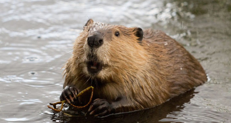 Beaver - The National Animal of Canada