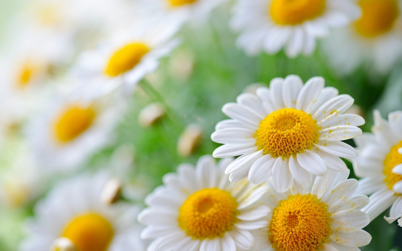 Chamomile - The national flower or Russia