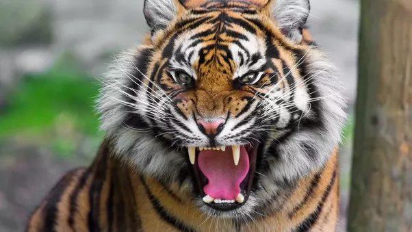 Royal Bengal Tiger Roar Face