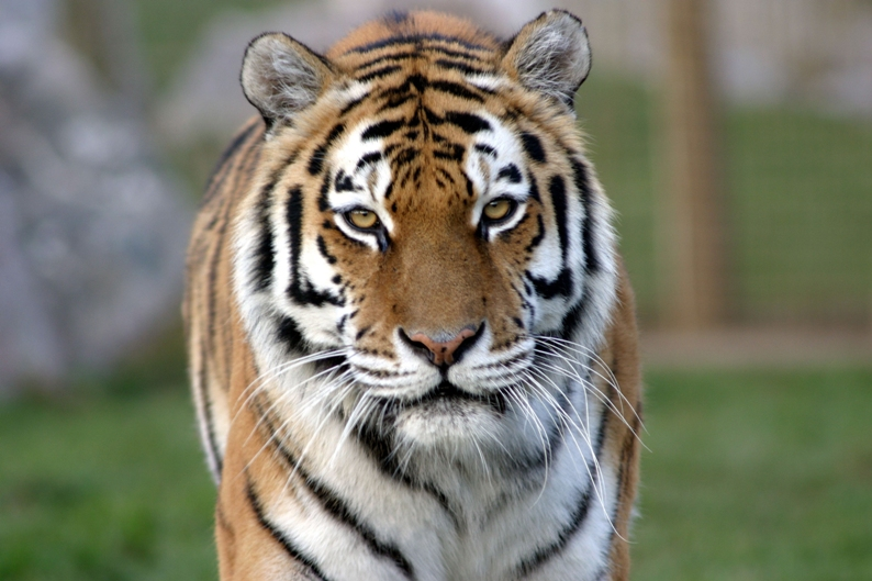 Royal Bengal Tiger The National Animal of Bangladesh helonational
