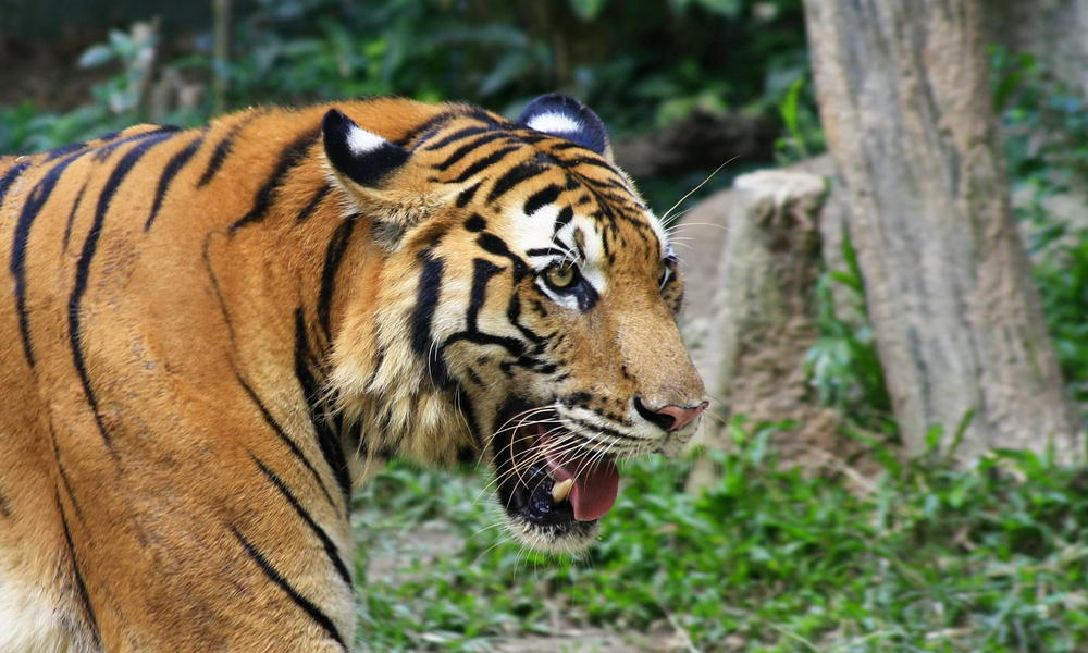 Royal Bengal Tiger The National Animal of Bangladesh jaws