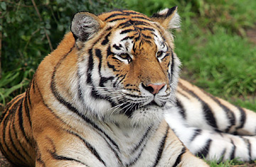 Royal Bengal Tiger The National Animal of Bangladesh