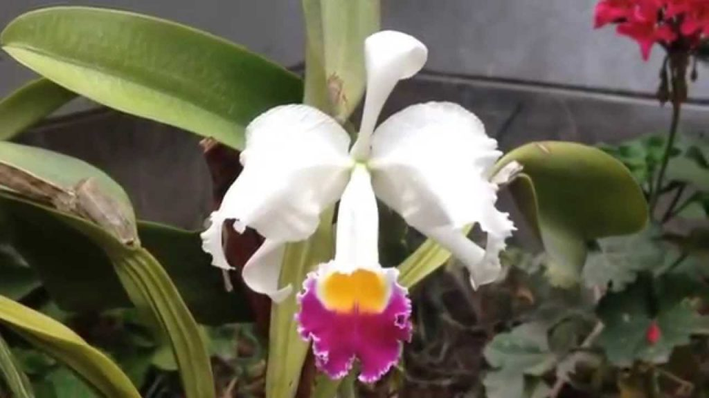 Cattleya Trianae The National Flower of Colombia
