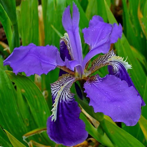Iris Tectorum: The National Flower of Algeria