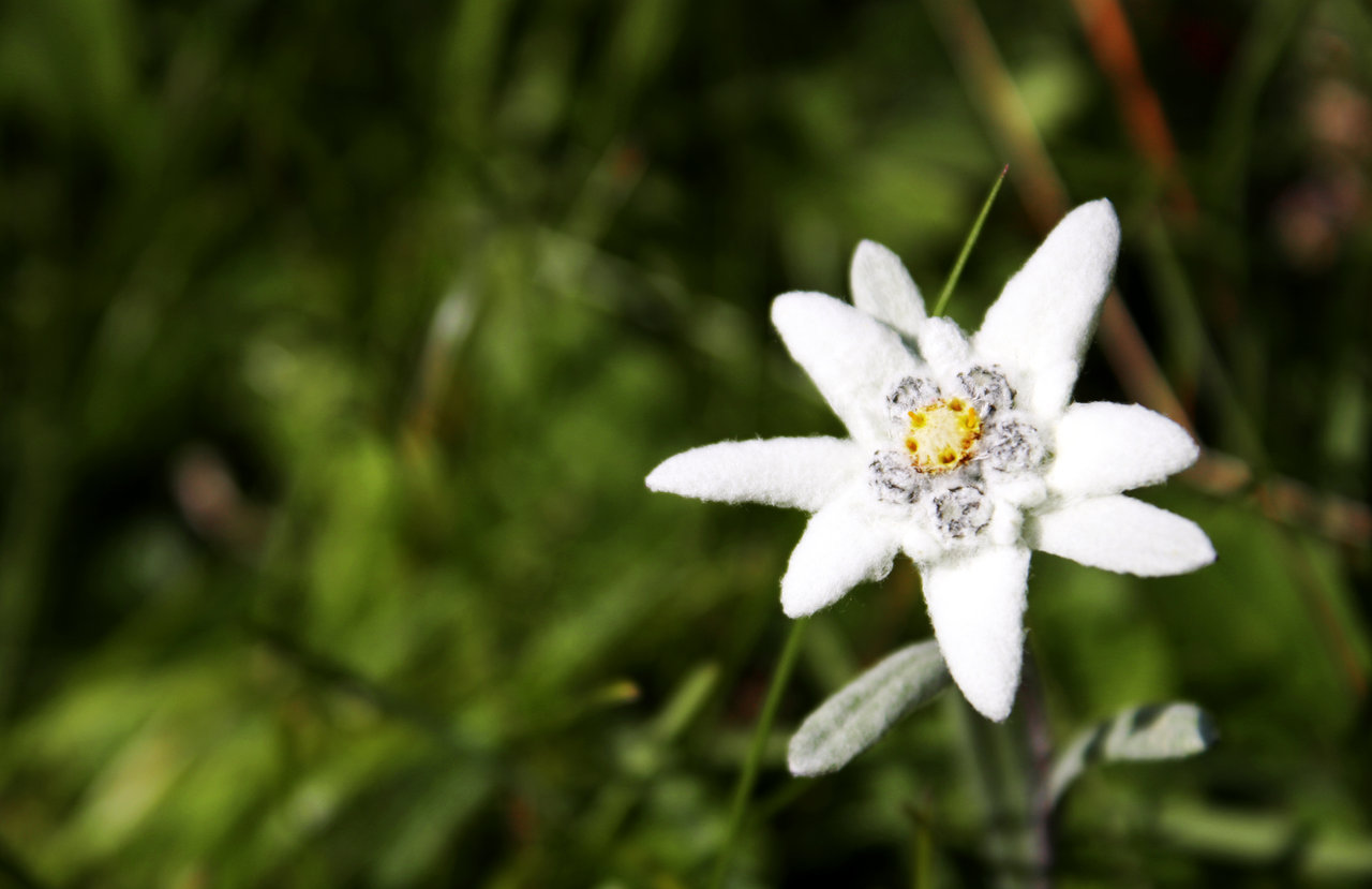 Edelweiss: The National Flower of Austria