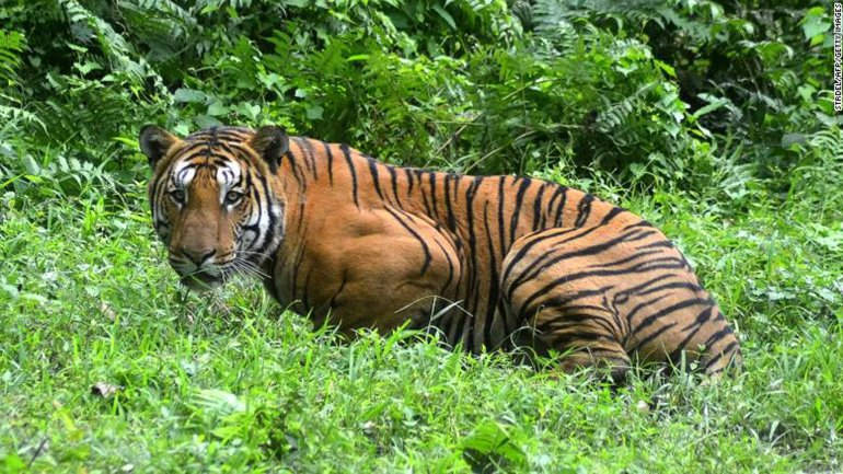 National Animal of Bangladesh