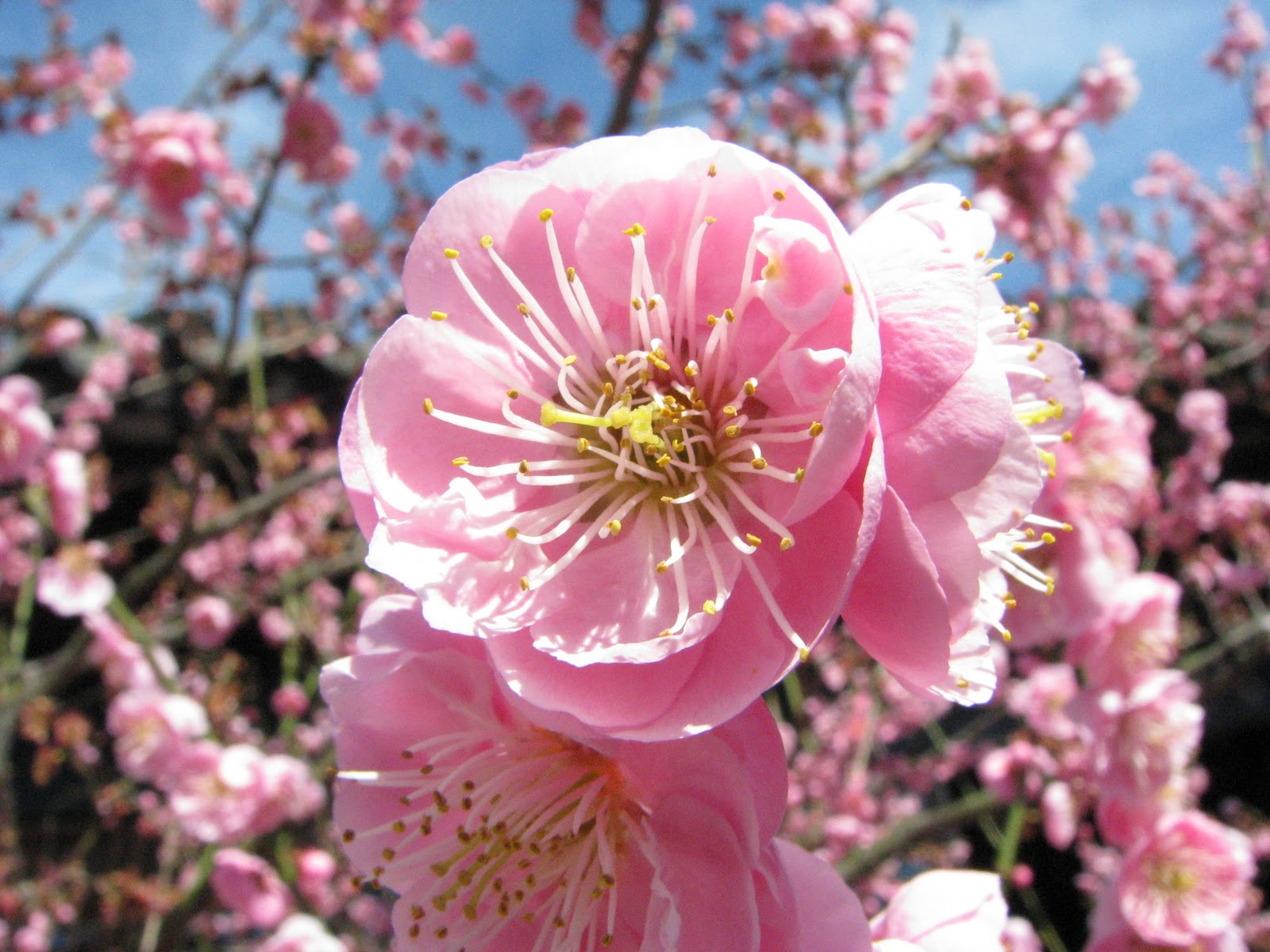 plum blossom National flower of taiwan