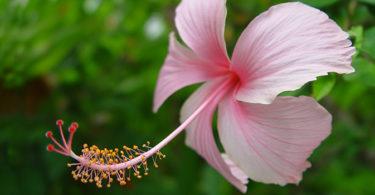 National flower of haiti