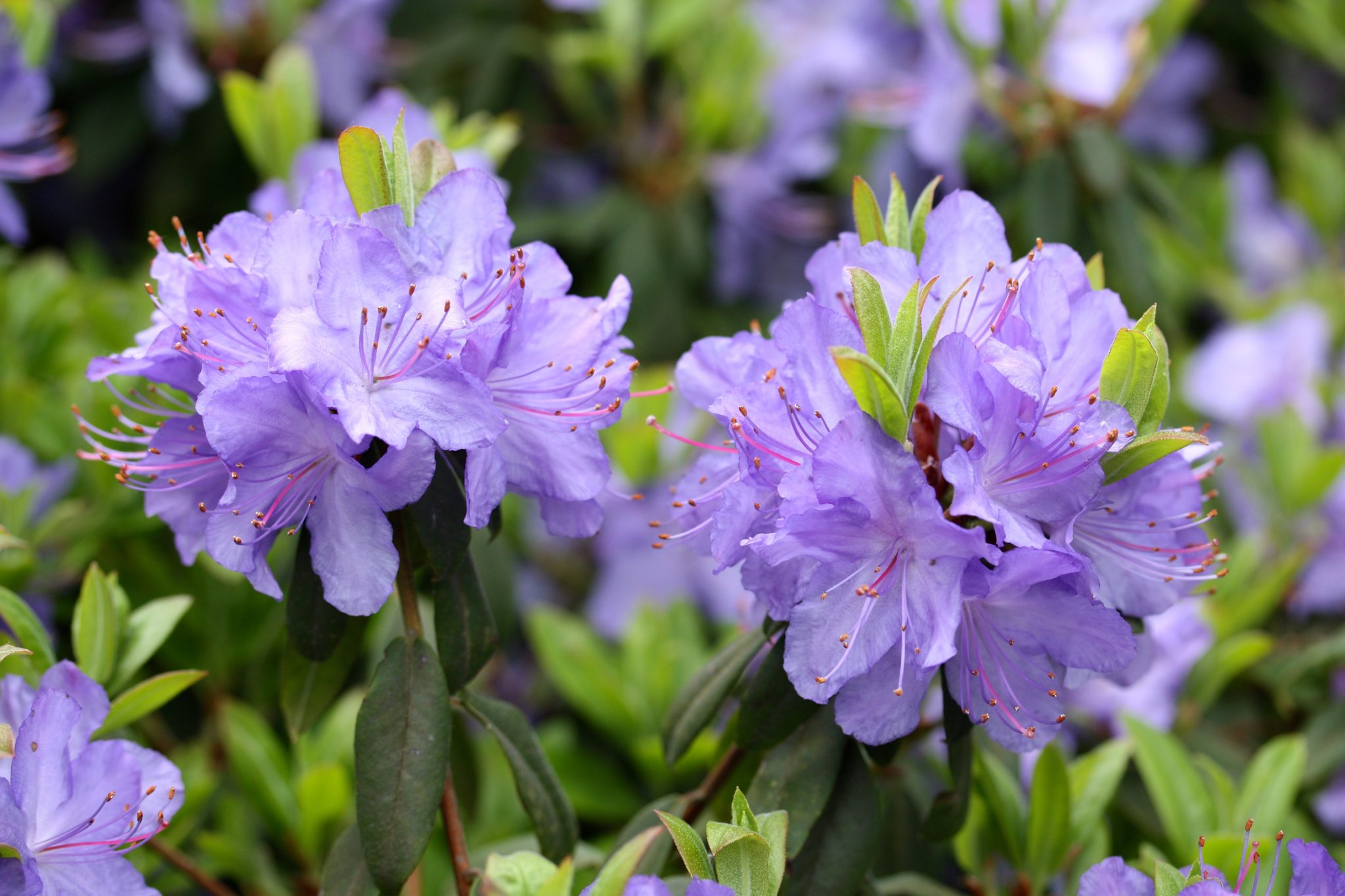rhododendron the national flower of nepla