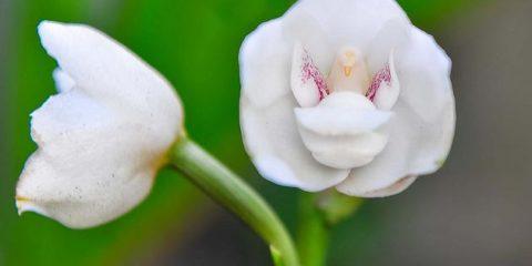 Peristeria Elata National Flower of Panama