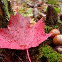 Maple Leaf: National flower of Canada